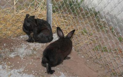 กระต่ายดำภูพาน แหล่งโปรตีนชนิดใหม่
